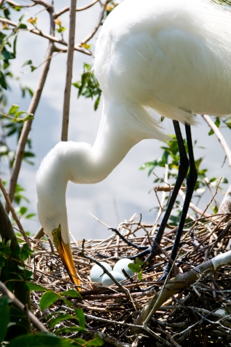Orlando, Florida - Great Egret