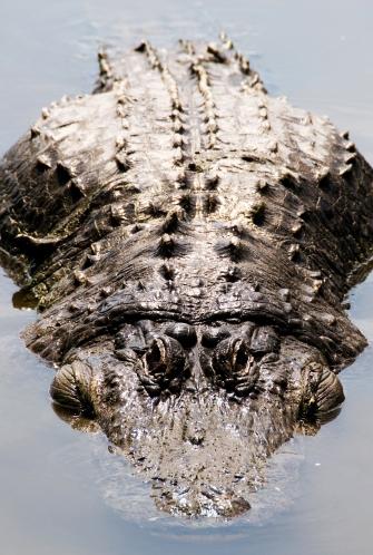 Gatorland - Gator