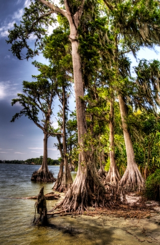 Cypress Trees - HDR