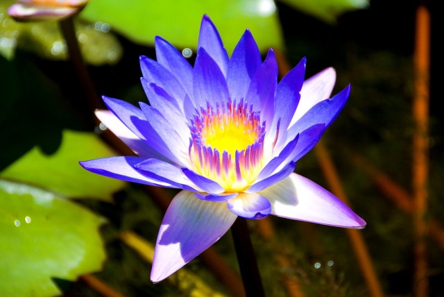 Water Lily - Blue