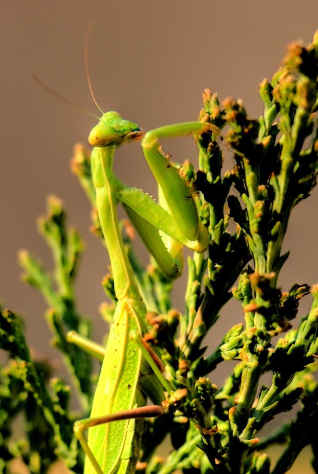 Mantis HDR